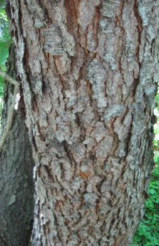 Black Cherry Bark.png