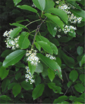 Black Cherry Leaves and Flowers.png